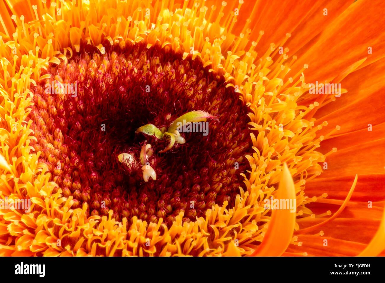 Close-up / Macro  of an Orange Gerbera Daisy - Stock Image