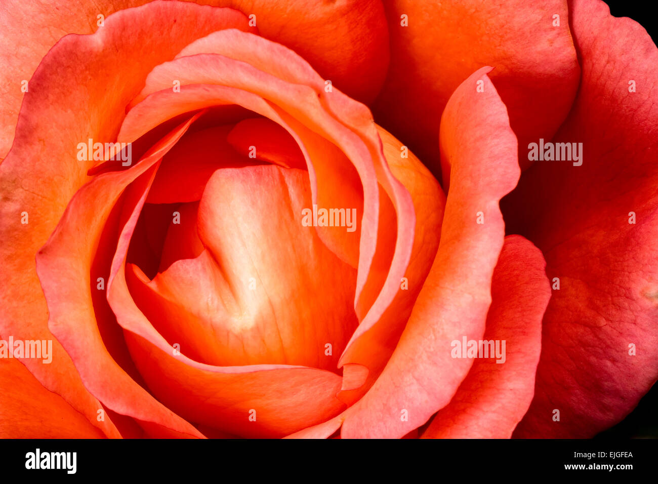 Orange Rose Blossom - Stock Image