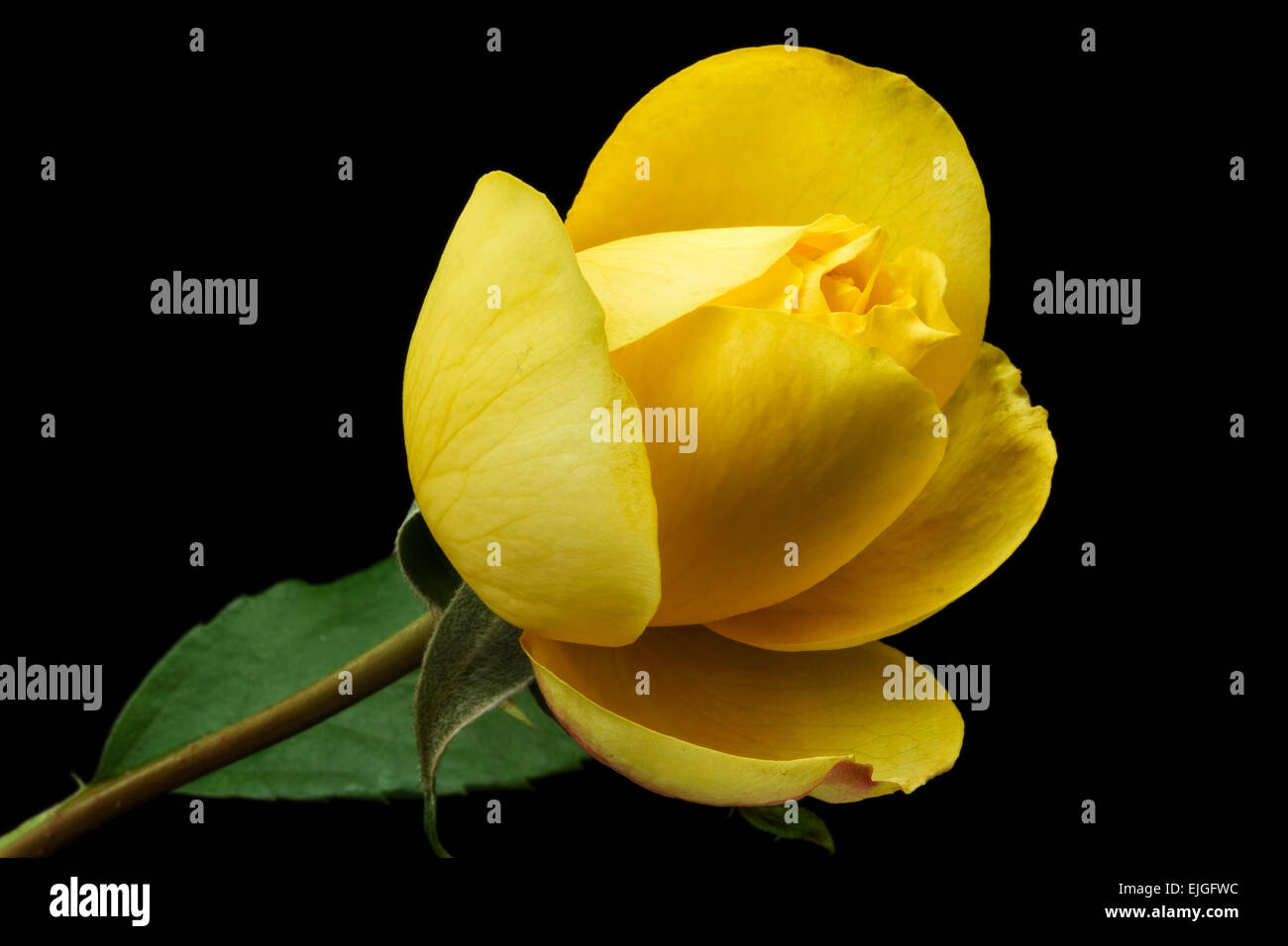 Yellow Rose on a black background - Stock Image