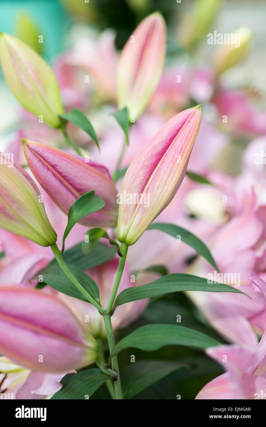 Lilium Sweet Romance Pink Oriental Lily Flower Stock Photo