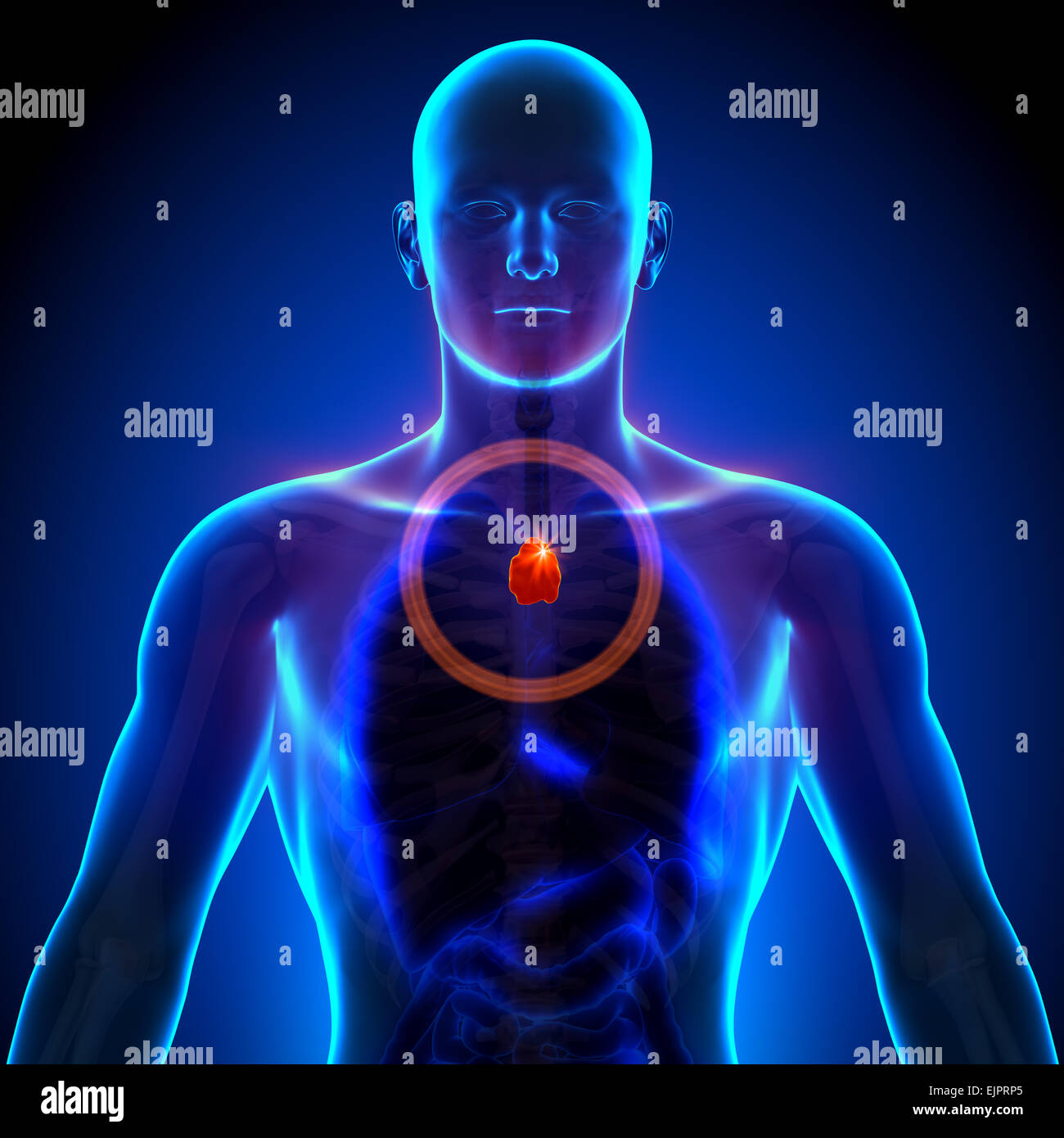 Thymus - Male anatomy of human organs - x-ray view Stock Photo ...