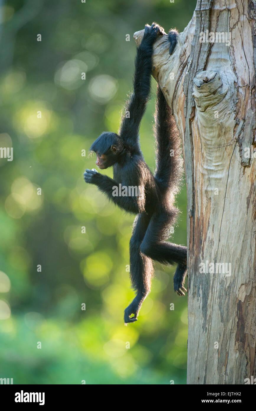 Black spider monkey, Ateles paniscus, Suriname, South America - Stock Image