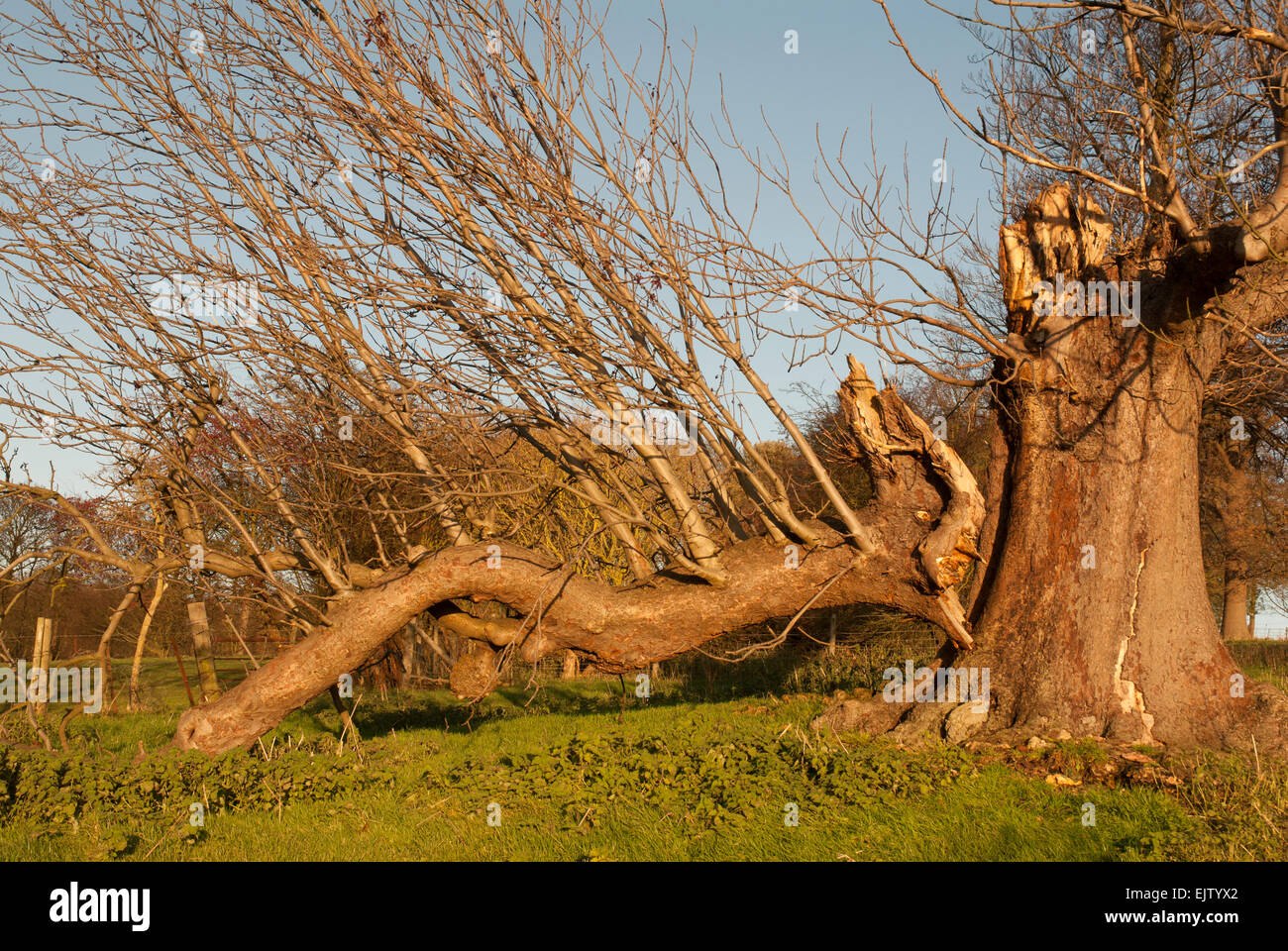 Broken tree branch that looks like a Chinese dragon - Stock Image