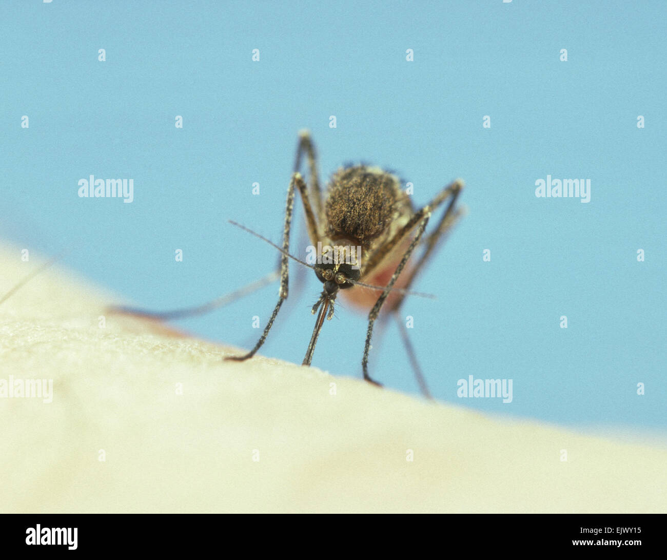 Mosquito - Sucking blood Stock Photo