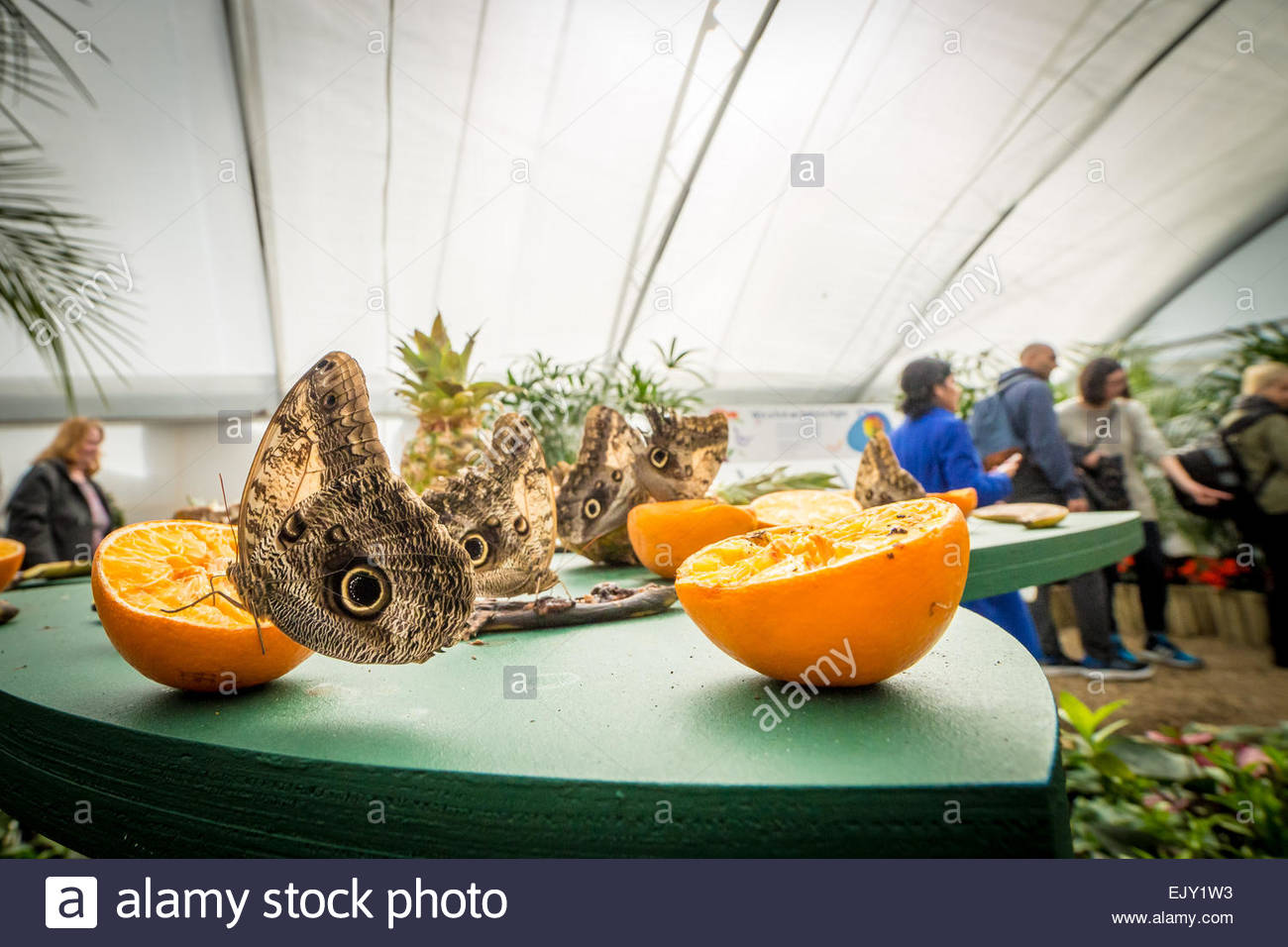 London, UK. 2nd April, 2015. Sensational Butterflies at the Natural History Museum Credit:  Guy Corbishley/Alamy - Stock Image