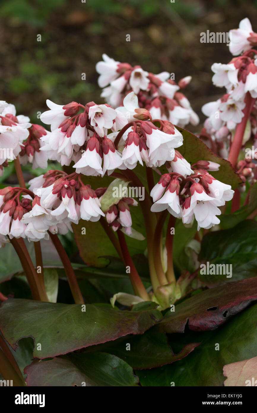 White flowers of the early spring flowering Bergenia 'Pink Ice', a hybrid between B. ciliata and B. emeiensis Stock Photo