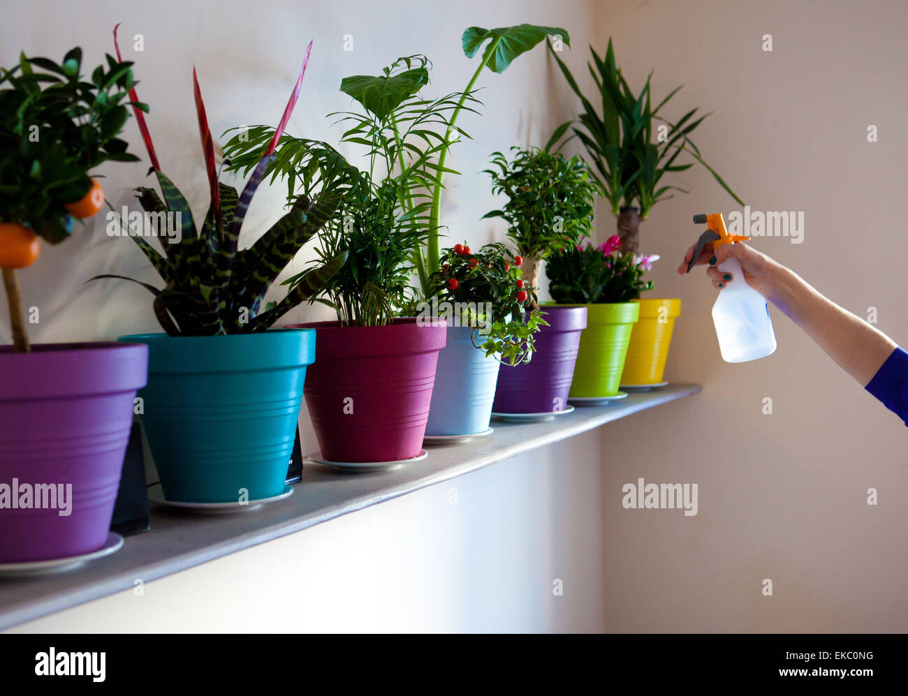 Hand of woman spraying row of potted plants with water - Stock Image