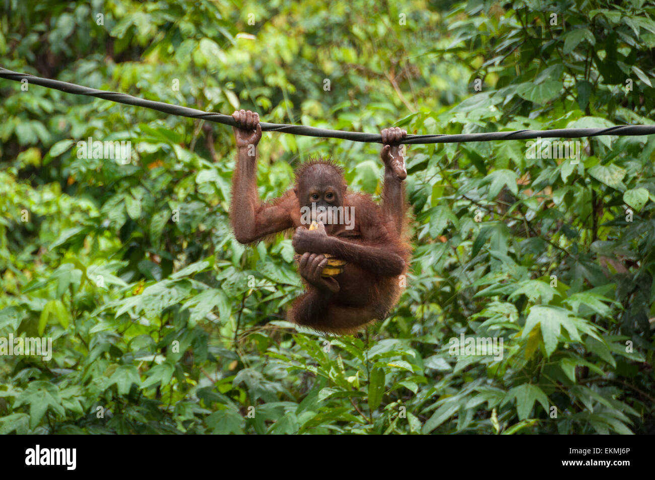 sepilok-orangutan-sanctuary-sabah-borneo-malaysia-EKMJ6P.jpg