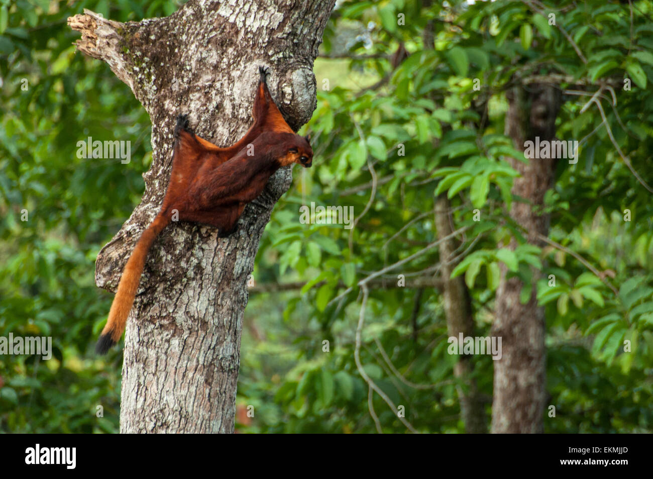 red-flying-squirrel-ready-to-fly-off-from-a-jungle-tree-sabah-borneo-EKMJJD.jpg