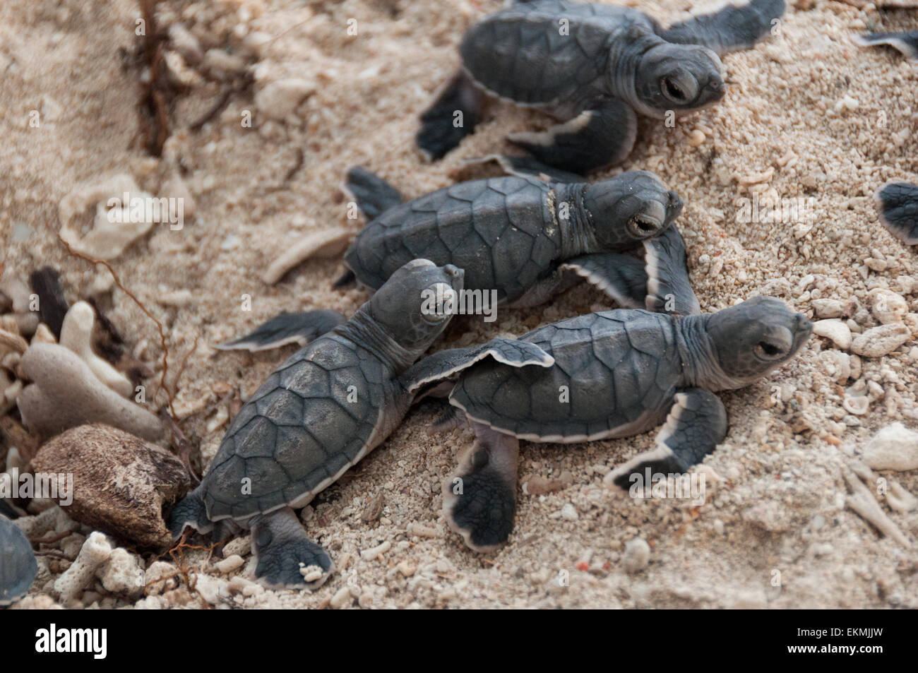 newbron-baby-green-turtles-crawling-out-of-their-sand-hole-turtle-EKMJJW.jpg