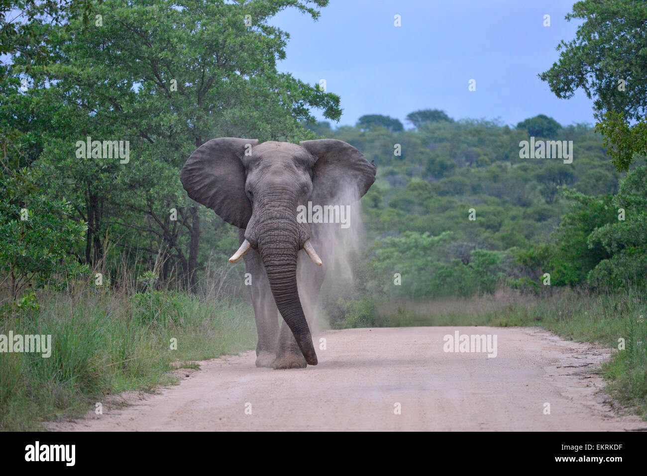 African elephant throwing up dust in dirt road, in world famous Kruger National Park, Mpumalanga, South Africa. - Stock Image