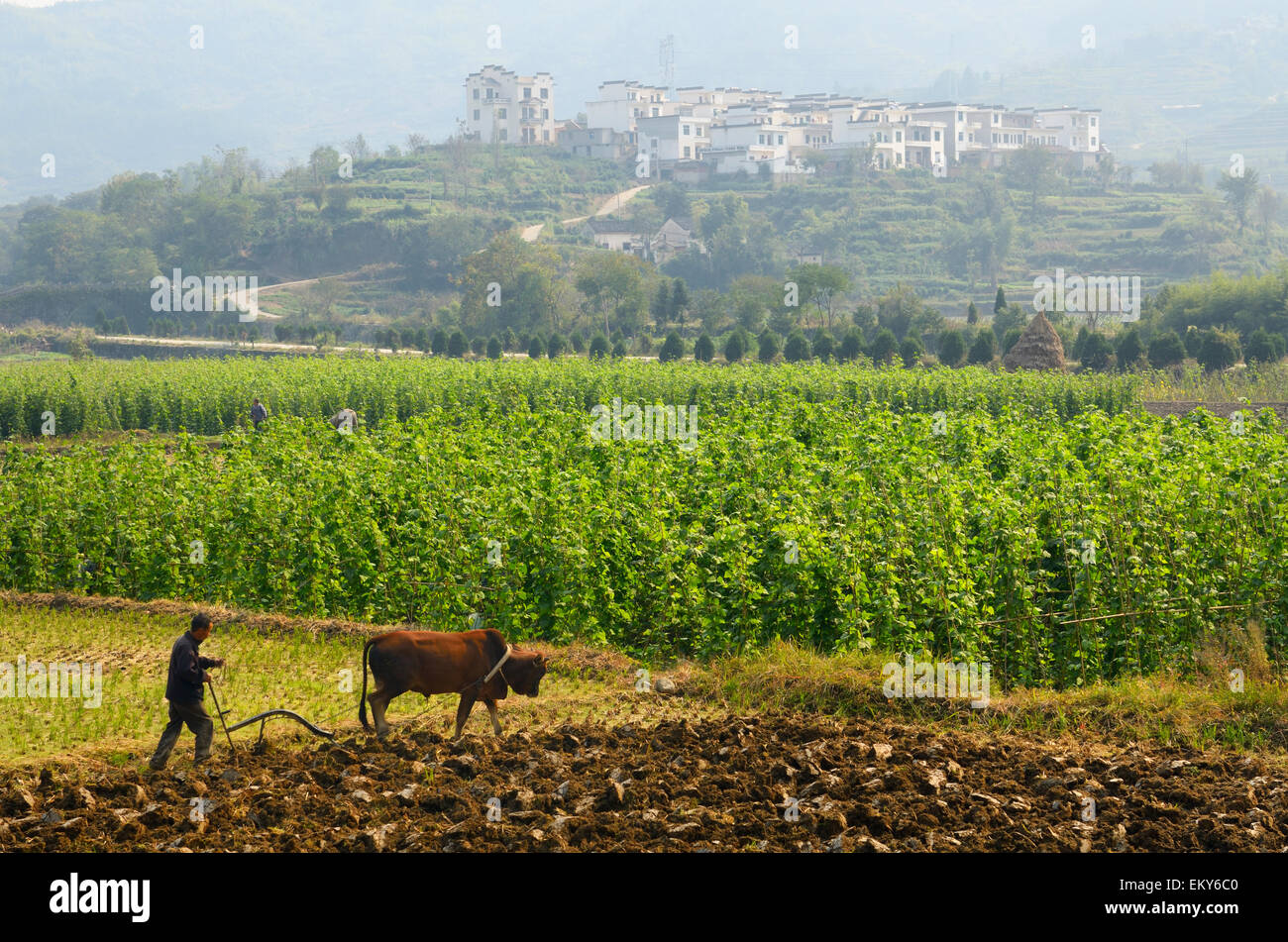 Farmer plowing fields with Bull Ox on rich valley farmland at Yanggancun hilltop village China - Stock Image