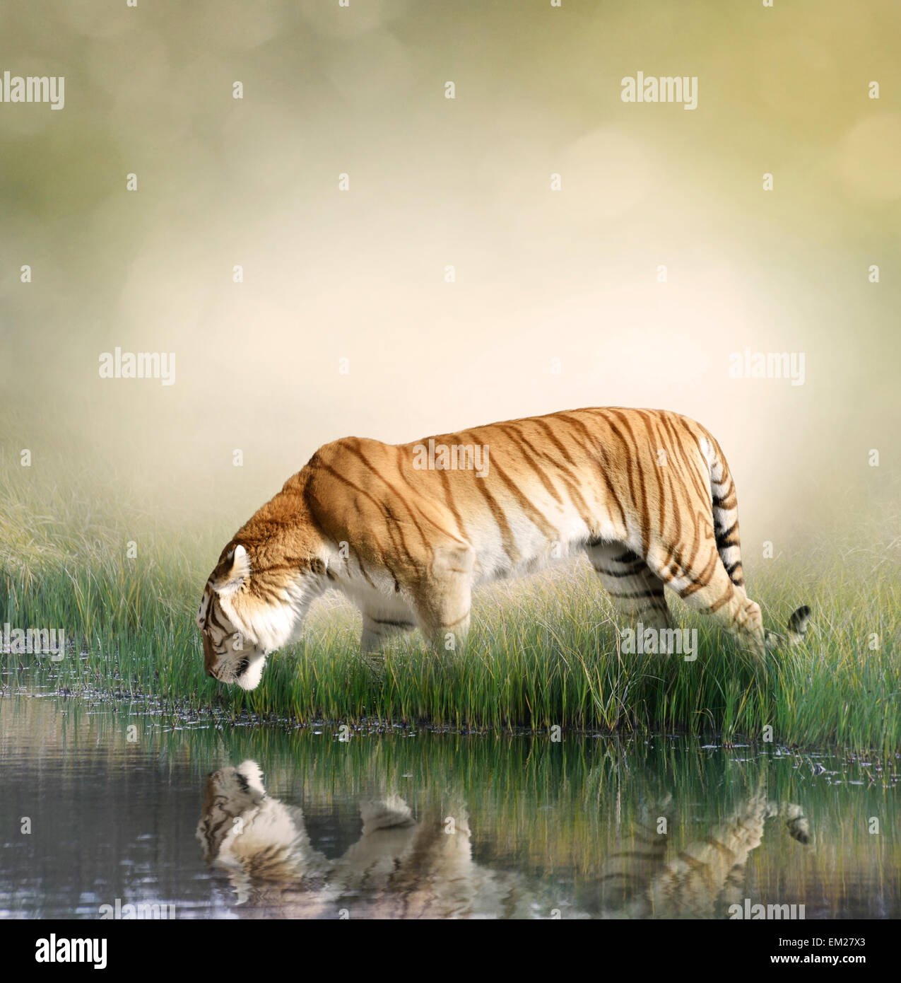 Tiger On Grassy Bank With Reflection - Stock Image