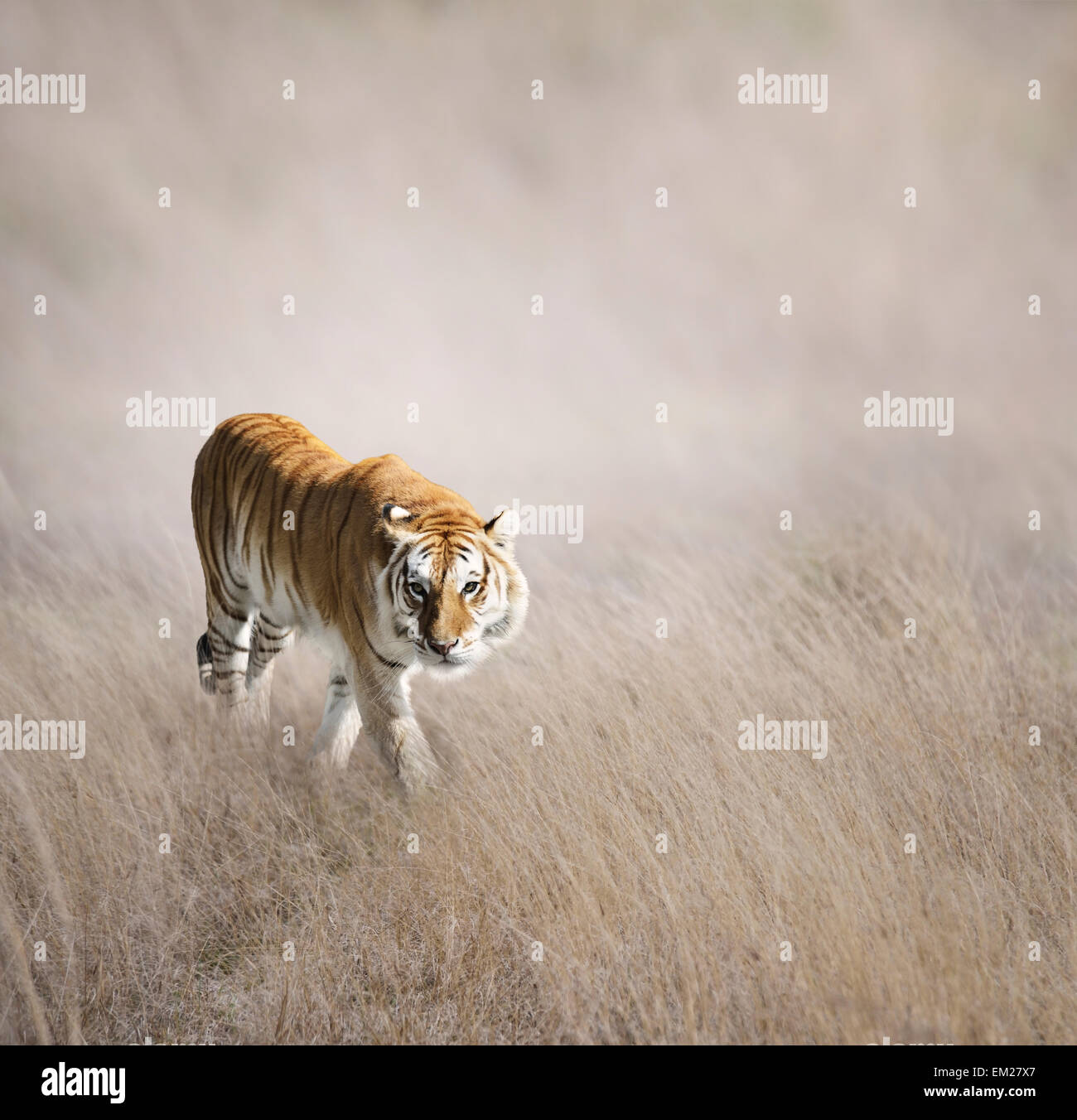 Tiger Walking In The Grass - Stock Image