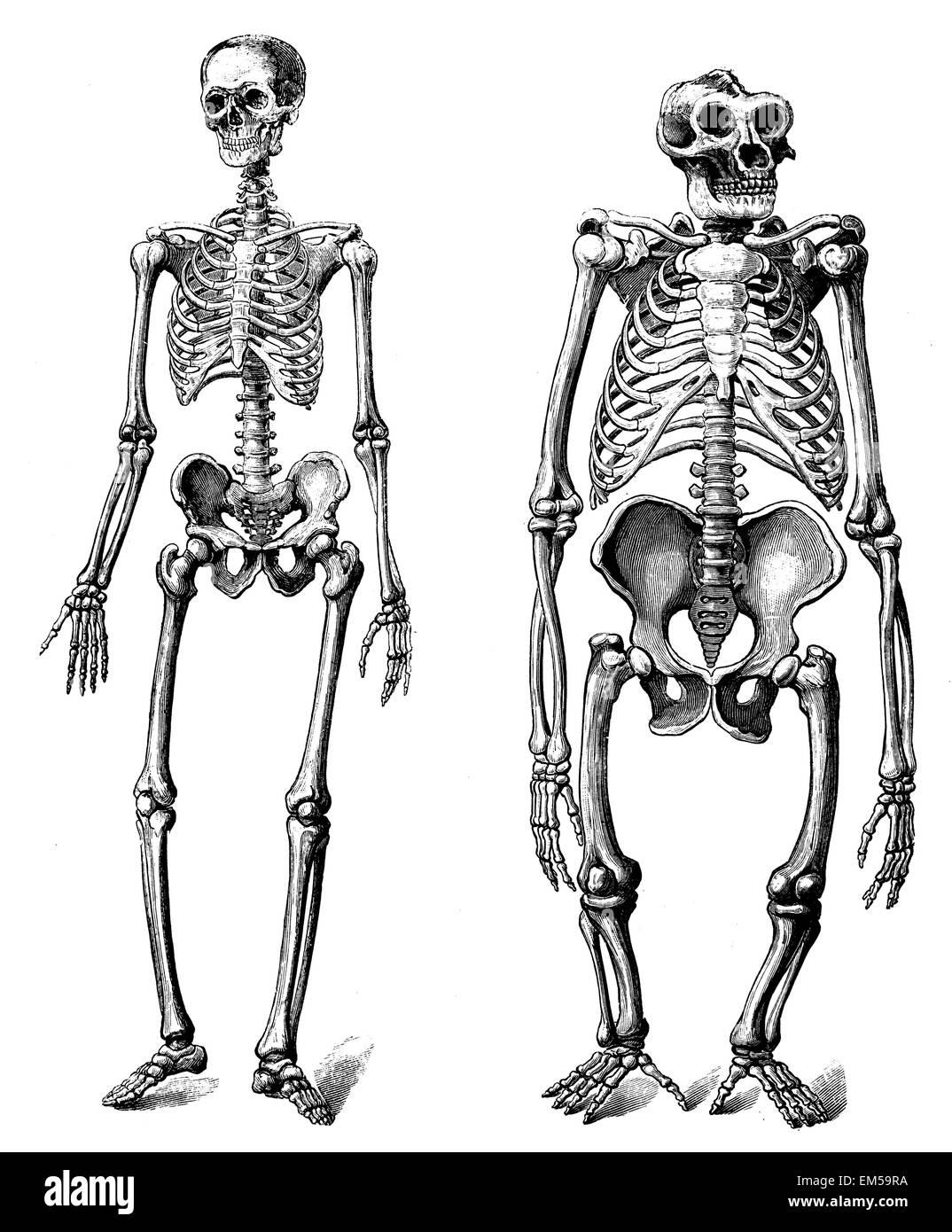 Skeleton of the person Skeleton of the Gorilla Stock Photo: 81252062 ...