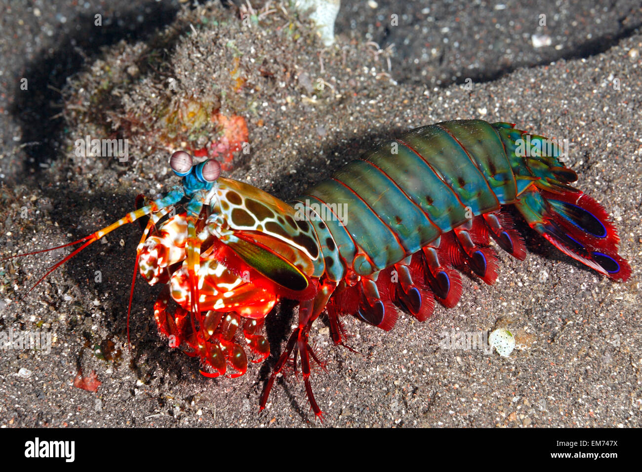 peacock-mantis-shrimp-odontodactylus-scyllarus-also-known-as-a-harlequin-EM747X.jpg