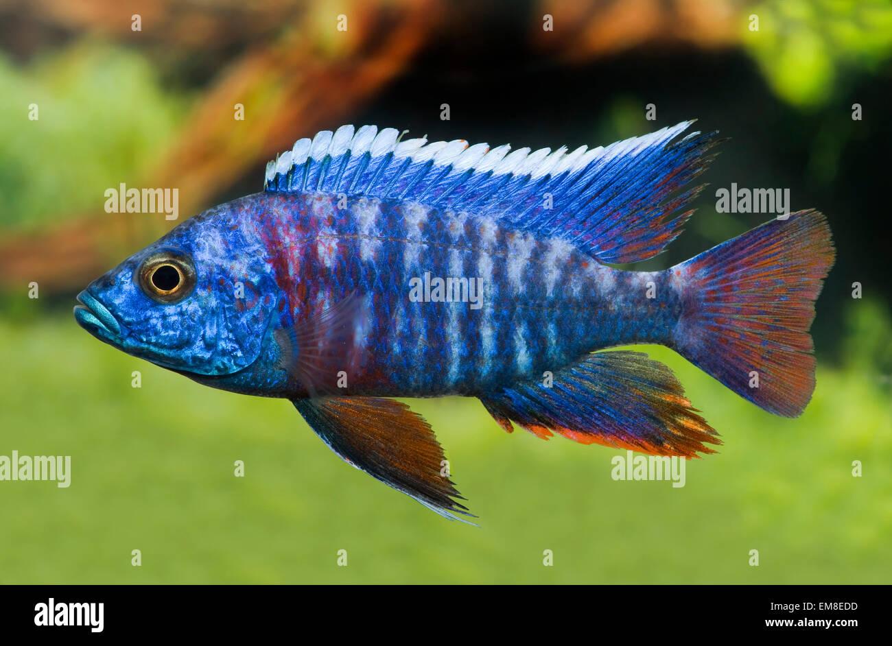 Aulonocara stuartgranti,Grants Malawi-Buntbarsch,Grant's Malawi-Cichlid Stock Photo