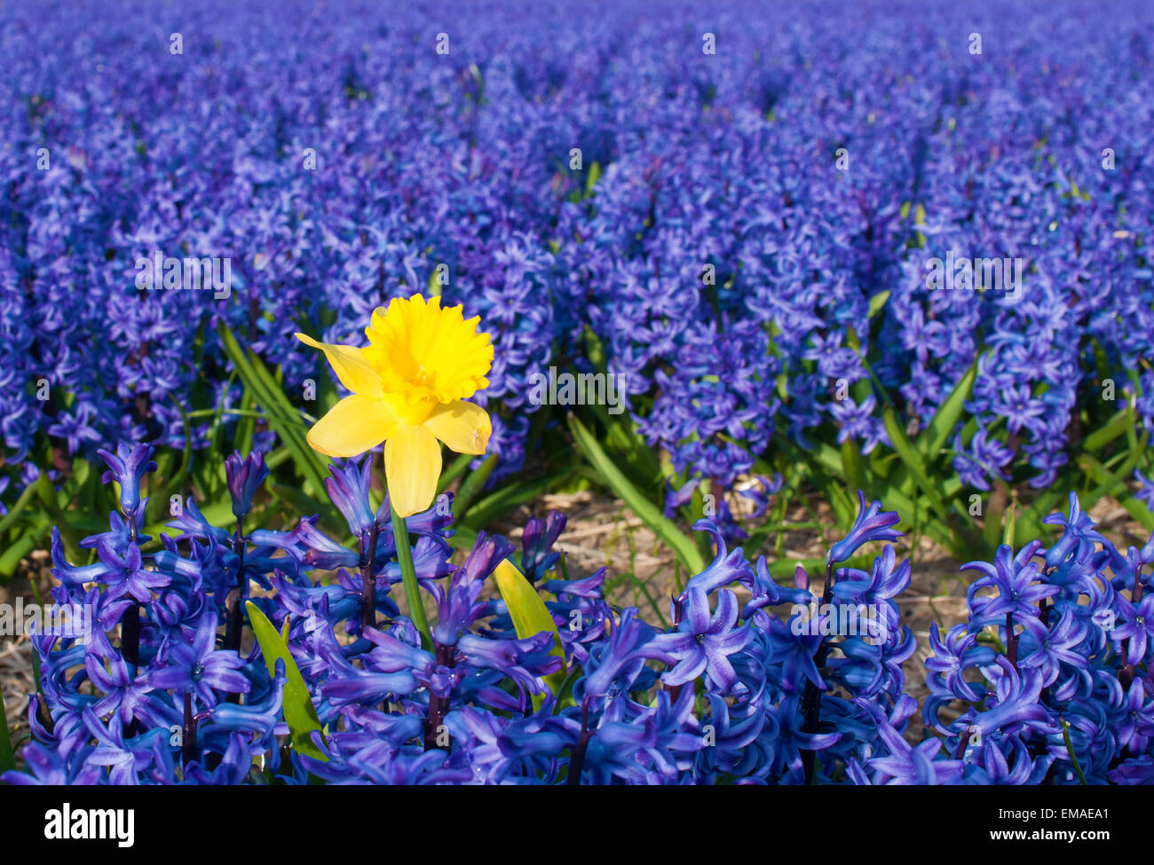 a lone daffodil stands out in a field of blue flowers in leiden