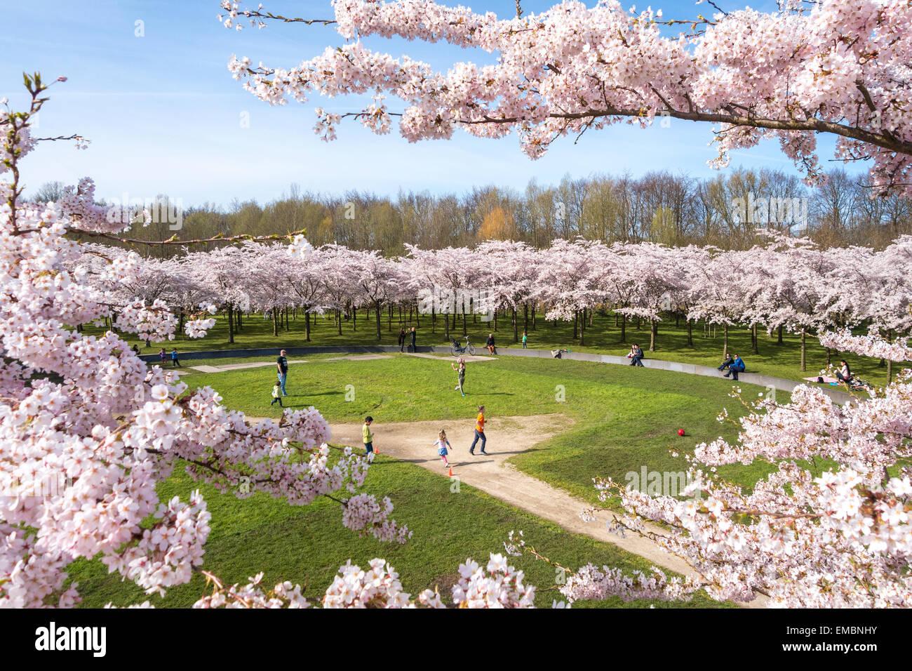 https://c7.alamy.com/comp/EMBNHY/amsterdam-amsterdamse-bos-bloesempark-cherry-blossom-park-boys-girls-EMBNHY.jpg