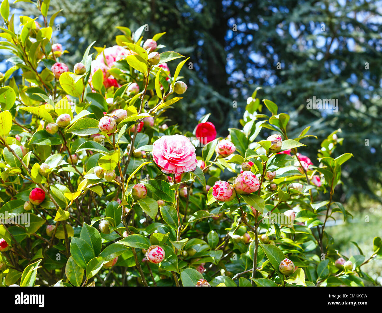 Pink and white flowers on camellia bush in spring sicily stock pink and white flowers on camellia bush in spring sicily mightylinksfo