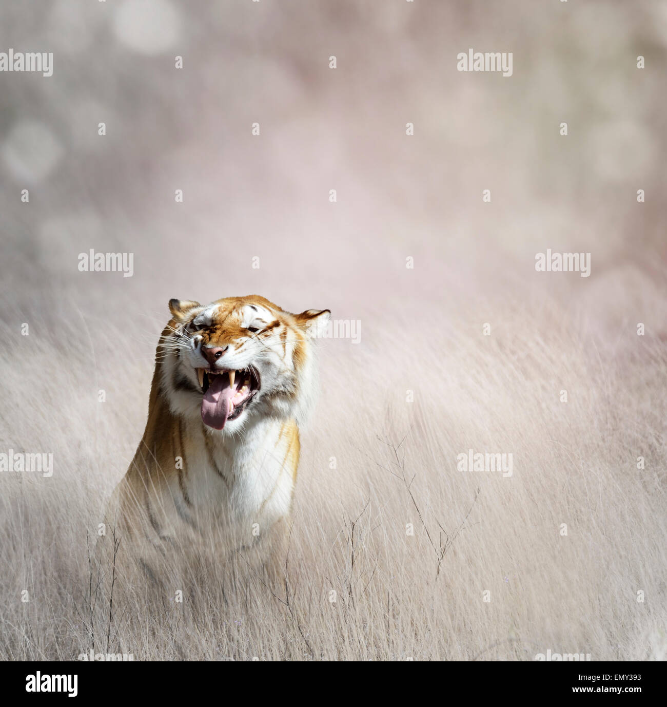 Tiger  In The Tall Grass - Stock Image