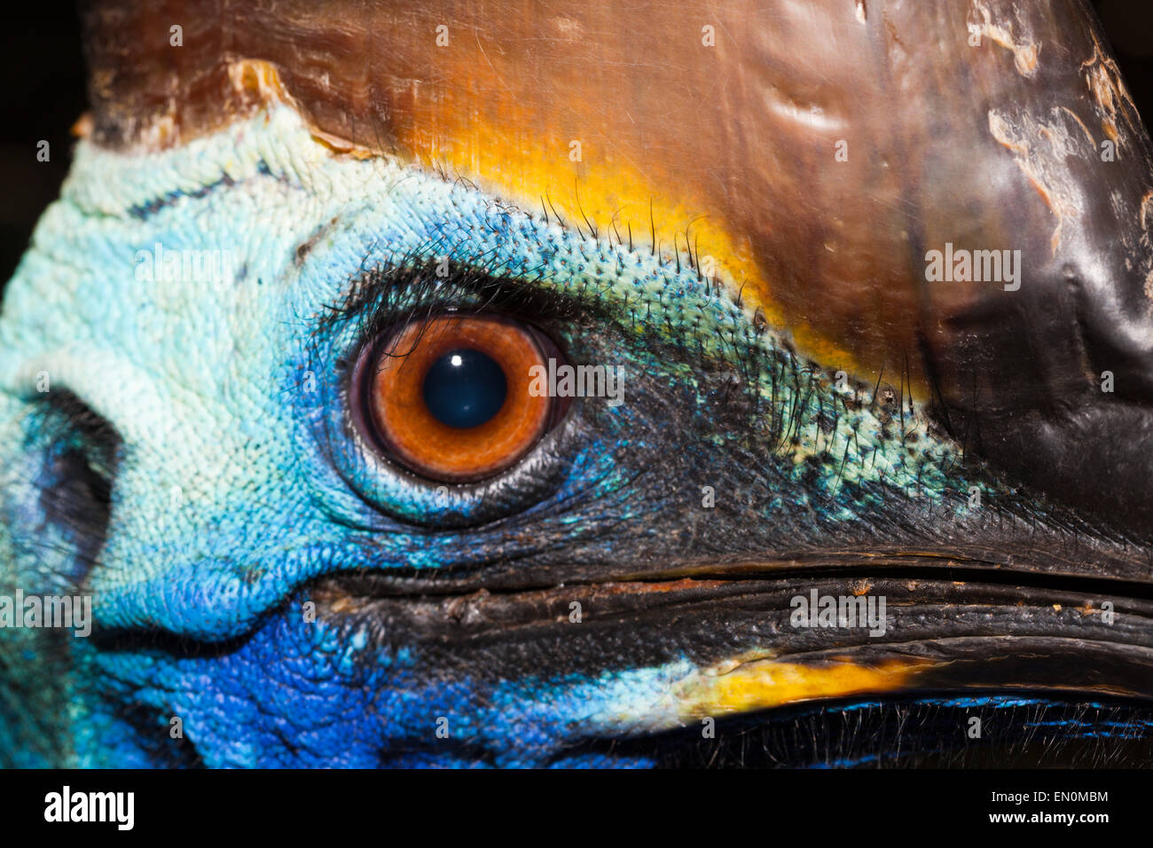Southern Cassowary, Casuarius casuarius, Queensland, Australia Stock Photo