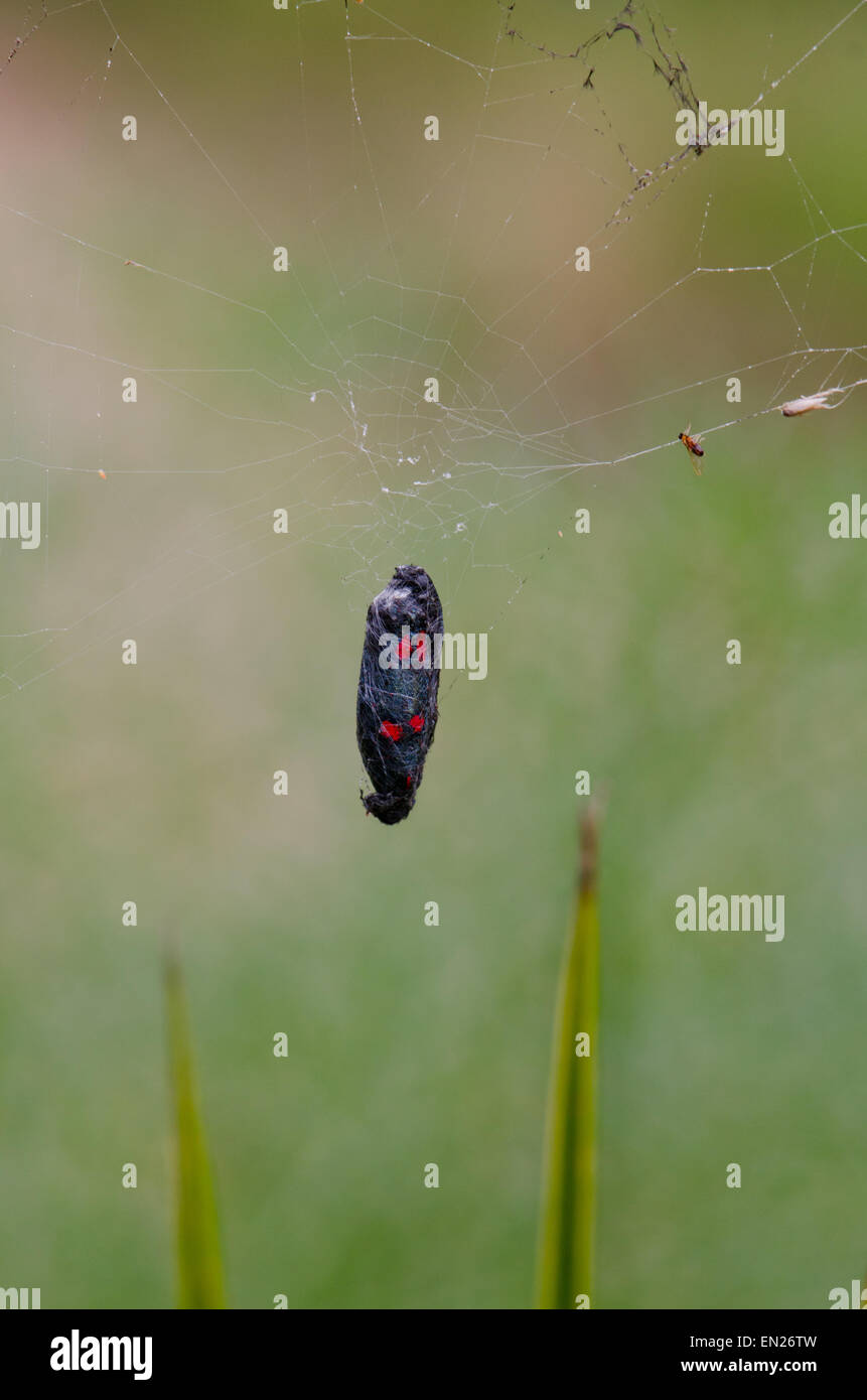 Five-spot Burnet, Zygaena trifolii, trapped in spider cobweb western Mediterranean moth, Southern Spain. - Stock Image