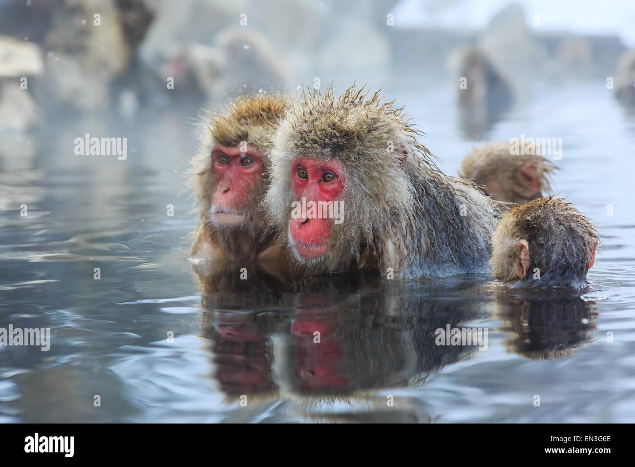 Snow monkeys in a natural onsen (hot spring), located in Jigokudani Park, Yudanaka. Nagano Japan. - Stock Image