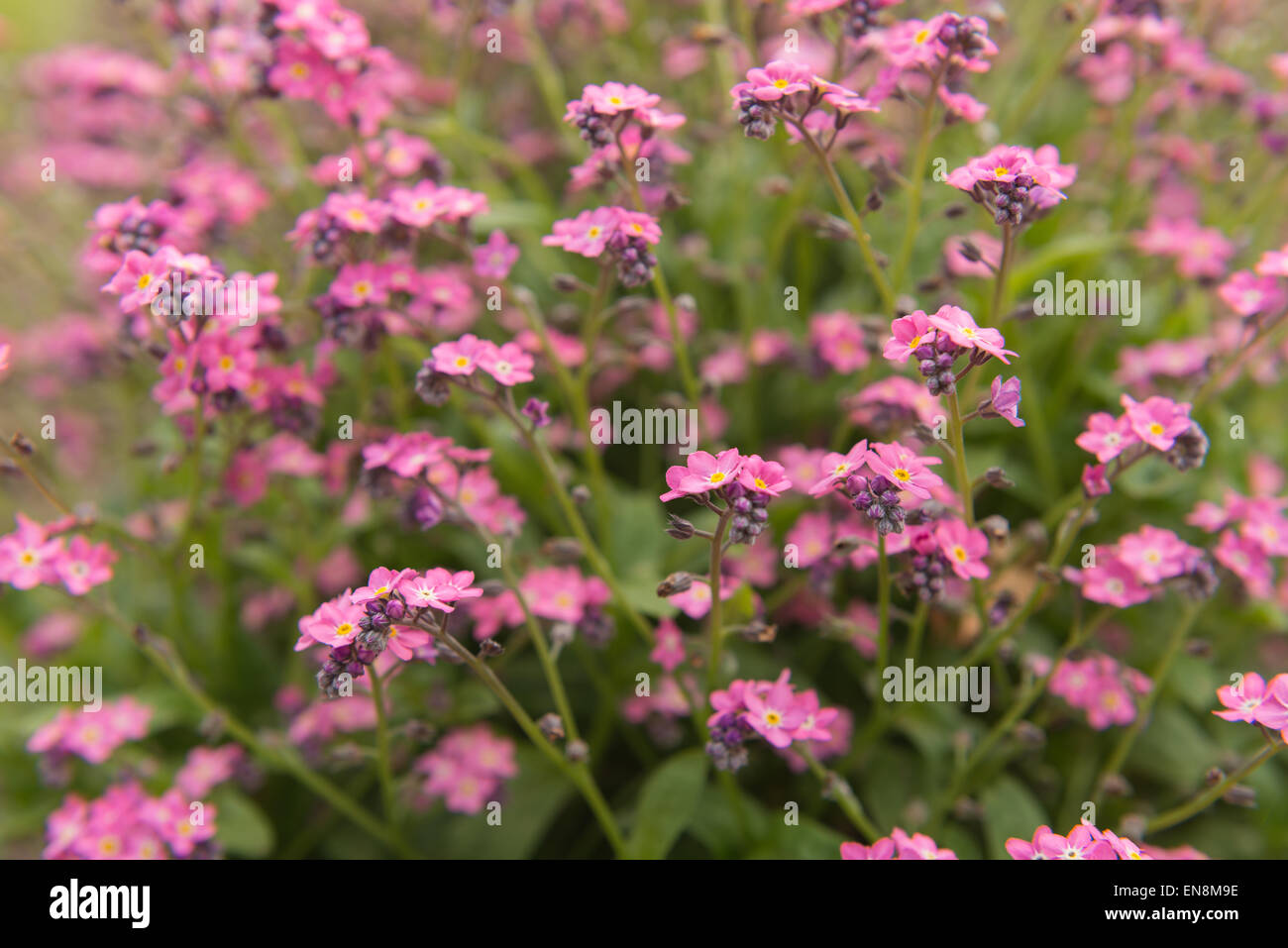 Single Bunch Of Blooms Of Candy Pink Forget Me Not Flowers Against A