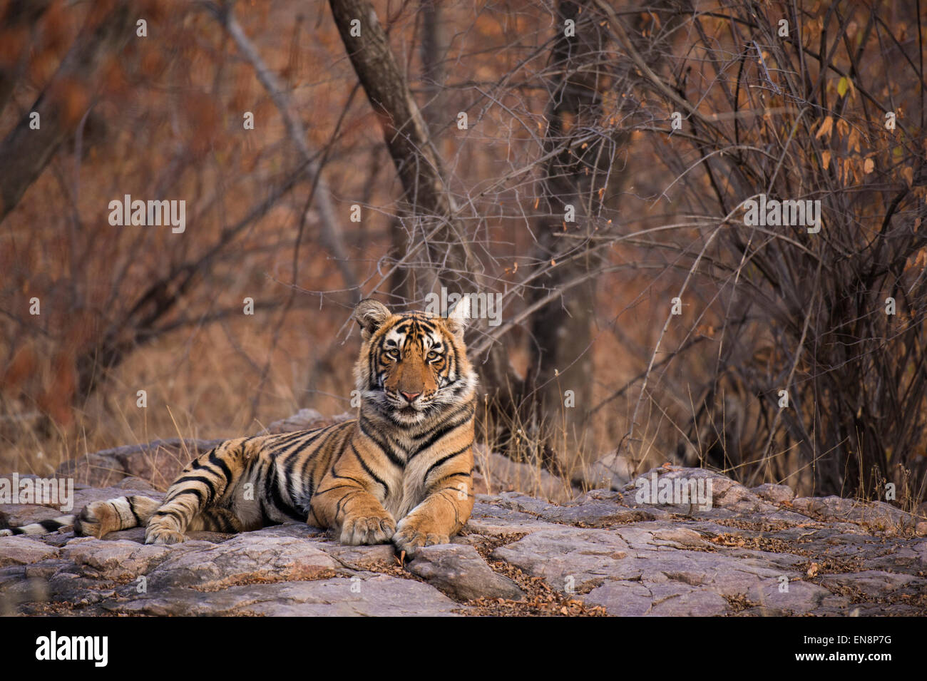Sub adult tiger sitting on rocky ground in Ranthambhore national park in India - Stock Image