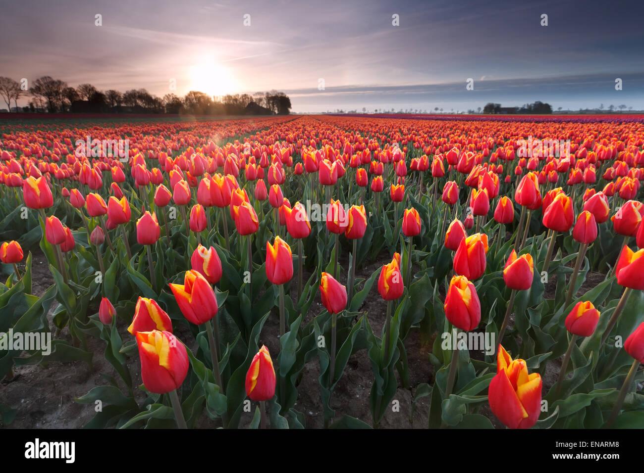 sunrise over red tulip field, Flevoland, Netherlands - Stock Image
