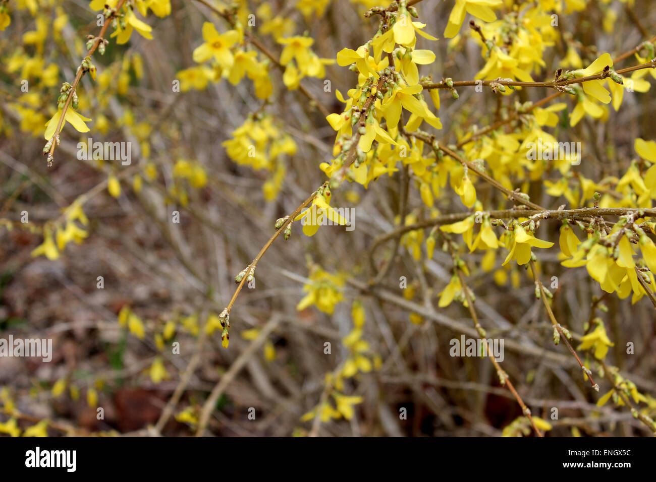 Detail Of A Yellow Flowering Bush In A Spring In Canada Stock Photo