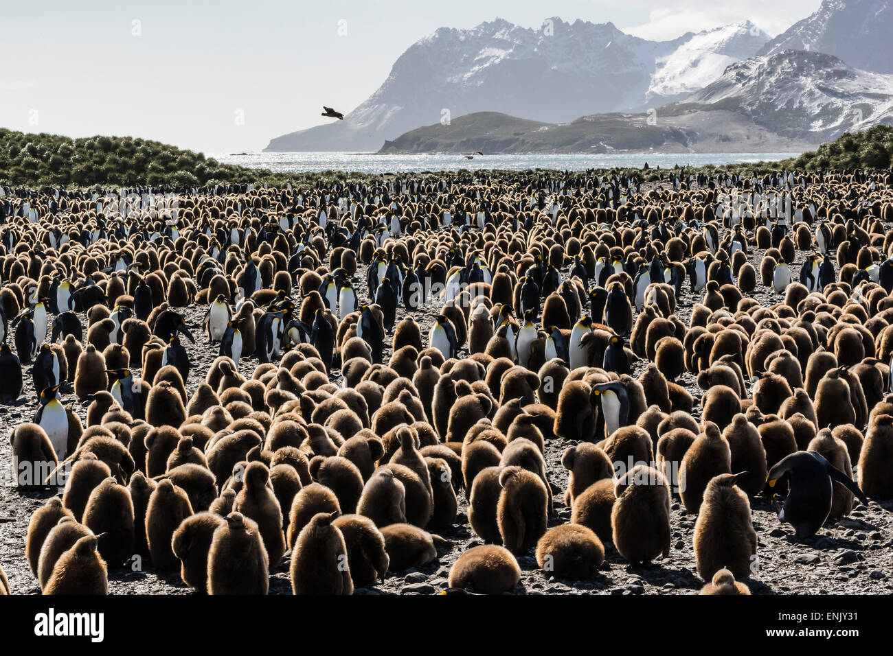 Adult and juvenile king penguins (Aptenodytes patagonicus), at breeding colony at Salisbury Plain, South Georgia, - Stock Image