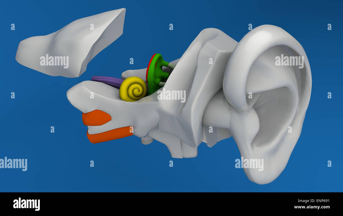 Human ear anatomy on blue background Stock Photo: 82237149 - Alamy