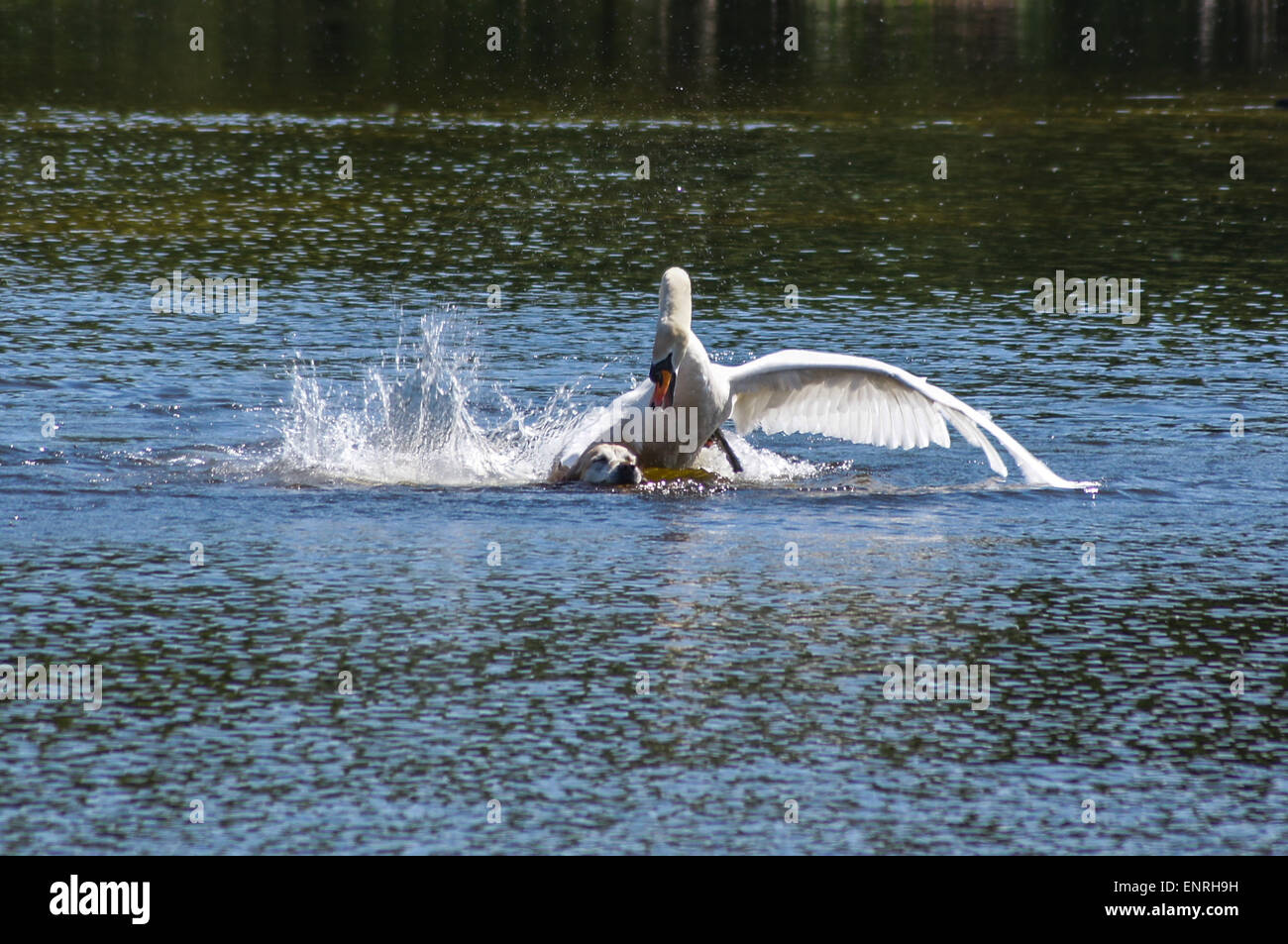 wanstead-park-london-uk-sunday-10-may-2015-a-swan-launches-a-violent-ENRH9H.jpg