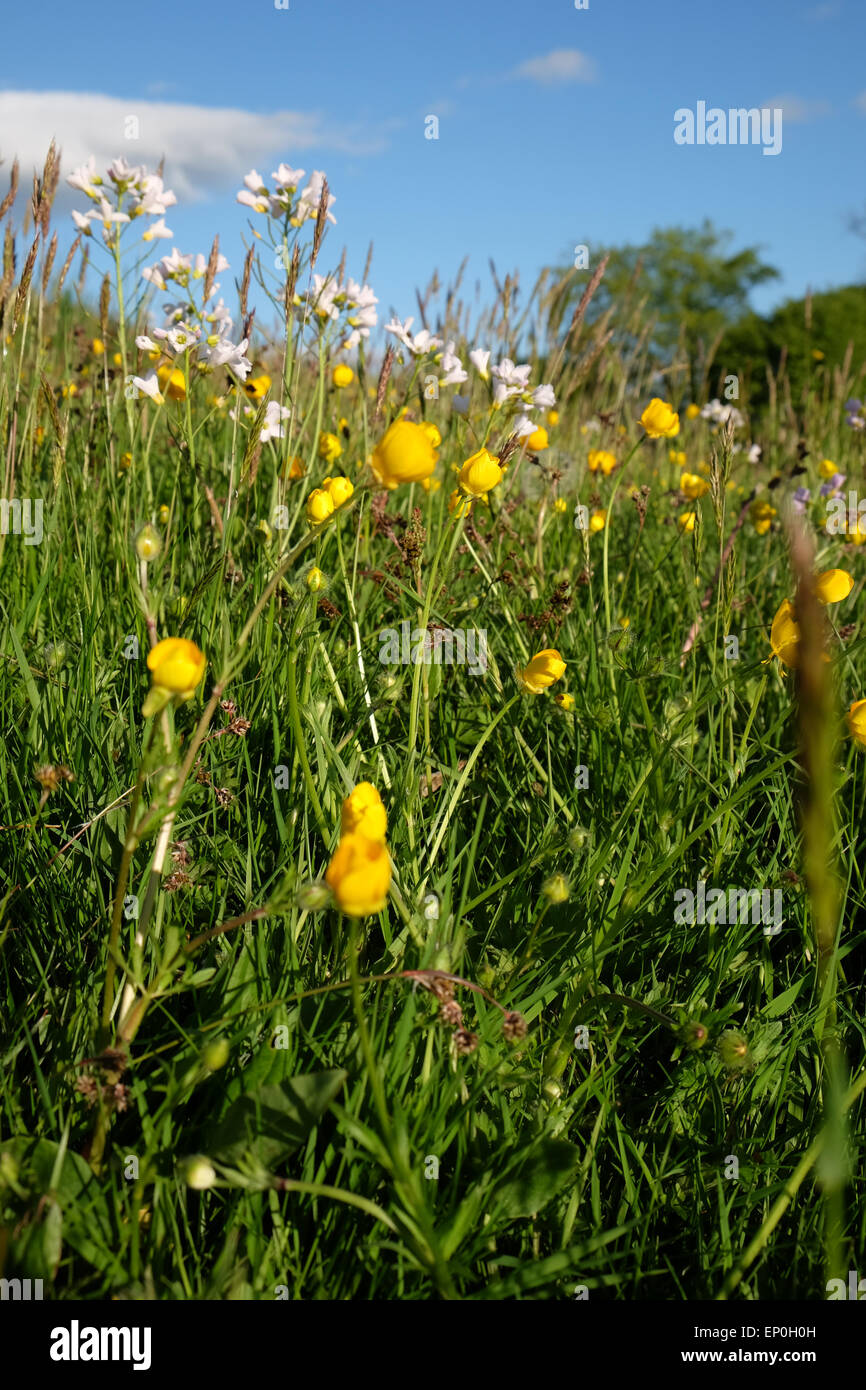Wild Flowers In A Grass Hay Meadow In Herefordshire Uk In May 2015