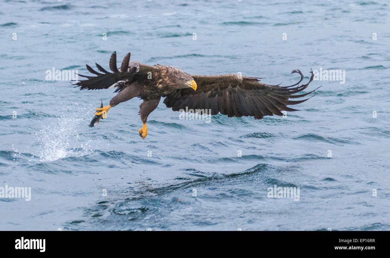White-tailed eagle, Haliaeetus albicilla, grabbing fish, wings are spread, Andenes, Norway - Stock Image