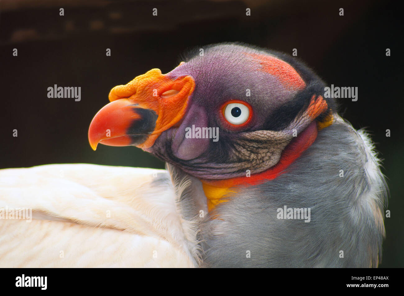 King Vulture, South Africa - Stock Image