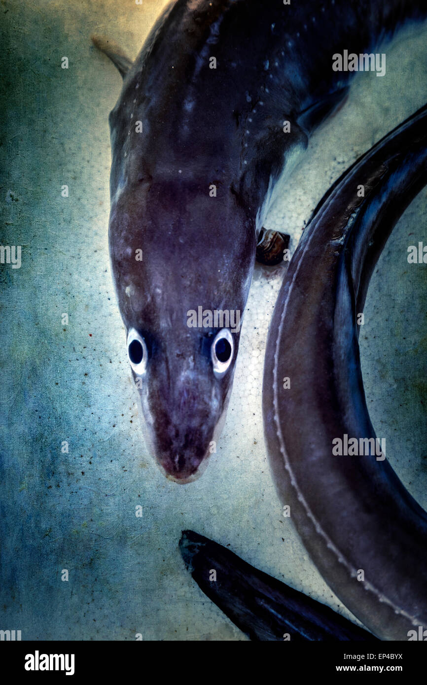 a dead eel with big eyes - Stock Image
