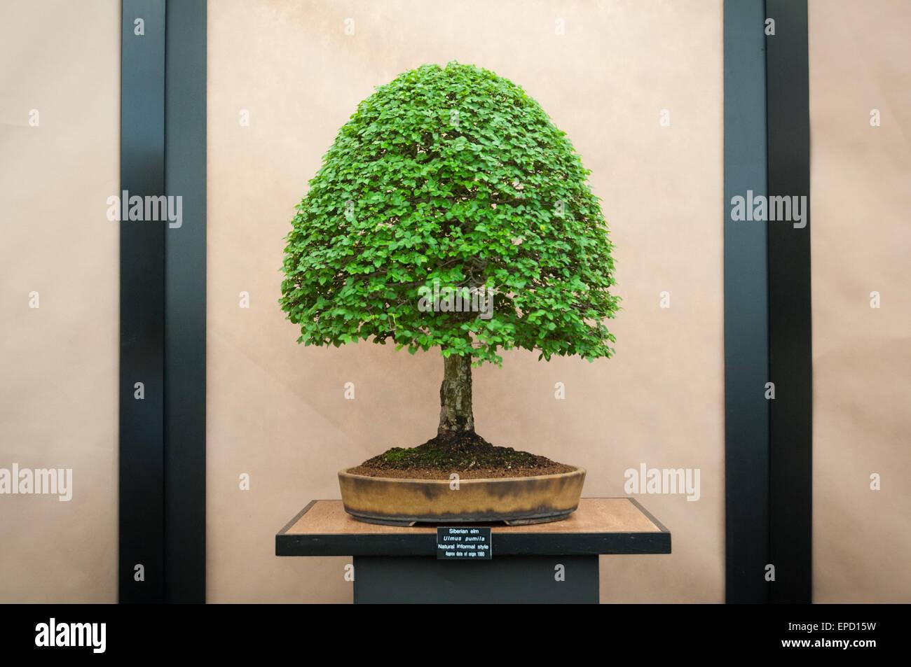 siberian-elm-ulmus-pumila-royal-horticultural-society-rhs-malvern-EPD15W.jpg