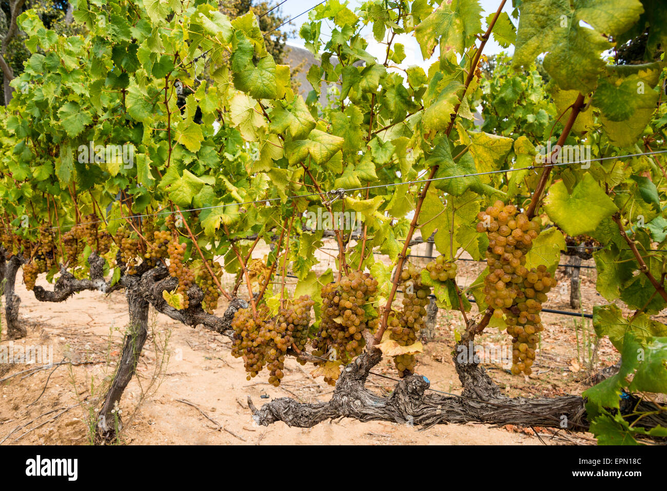 Grape vines, Groot Constantia Wine Estate, Constantia, Cape Town, Western Cape Province, Republic of South Africa - Stock Image