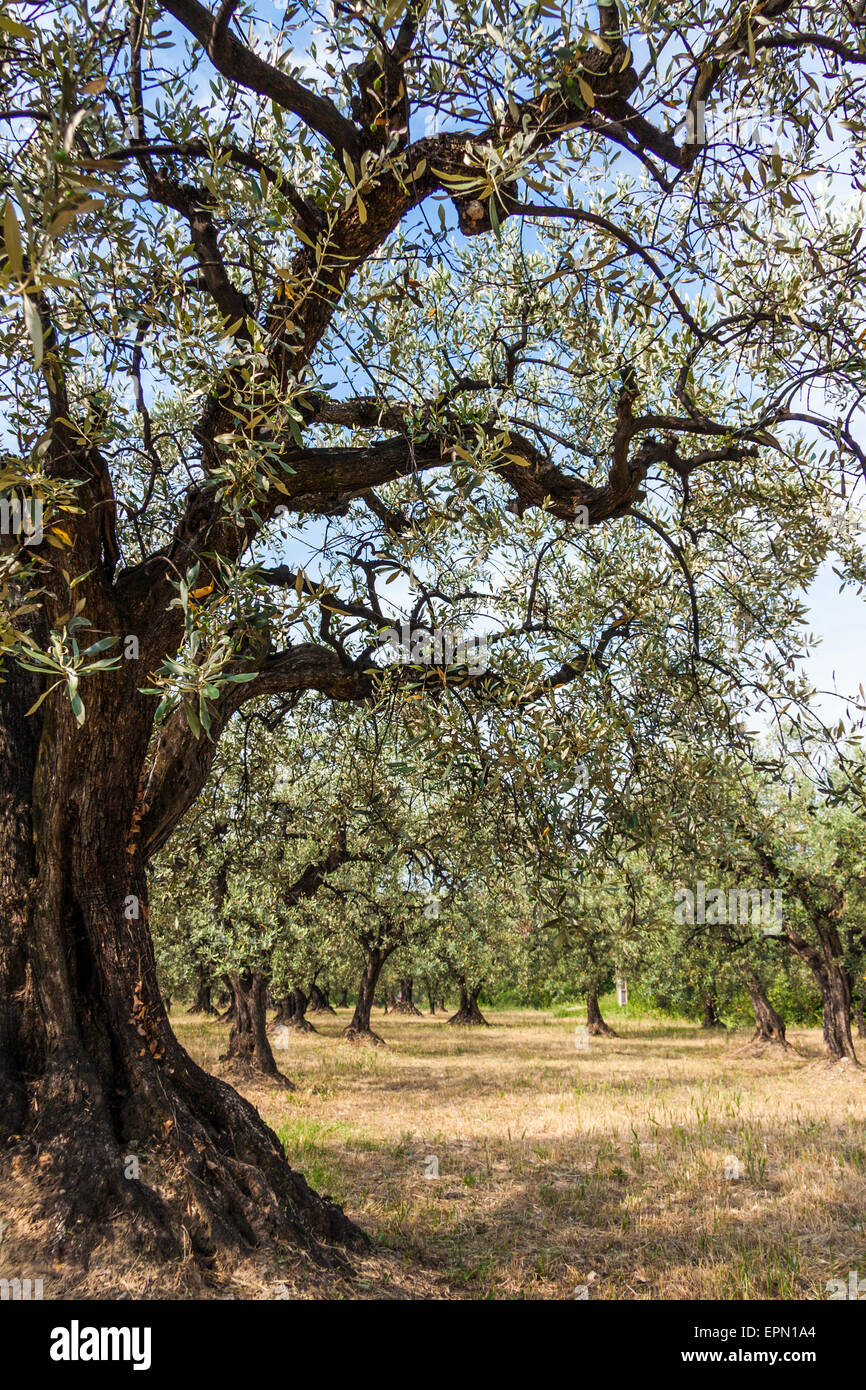 Old olive tree and blue sky in Provence, South of France, Europe - Stock Image