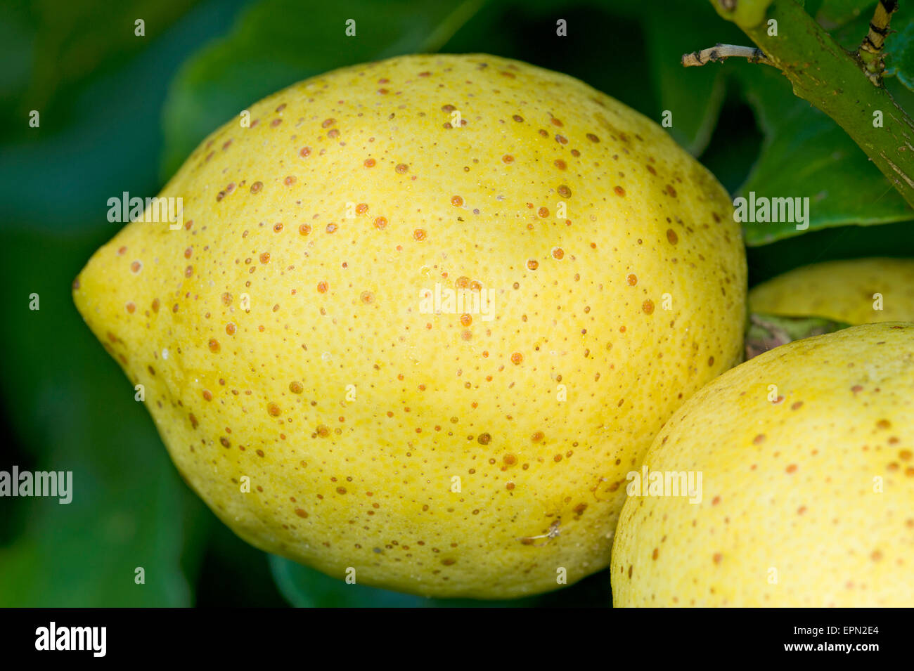 Californian red scale on lemon fruit - Stock Image