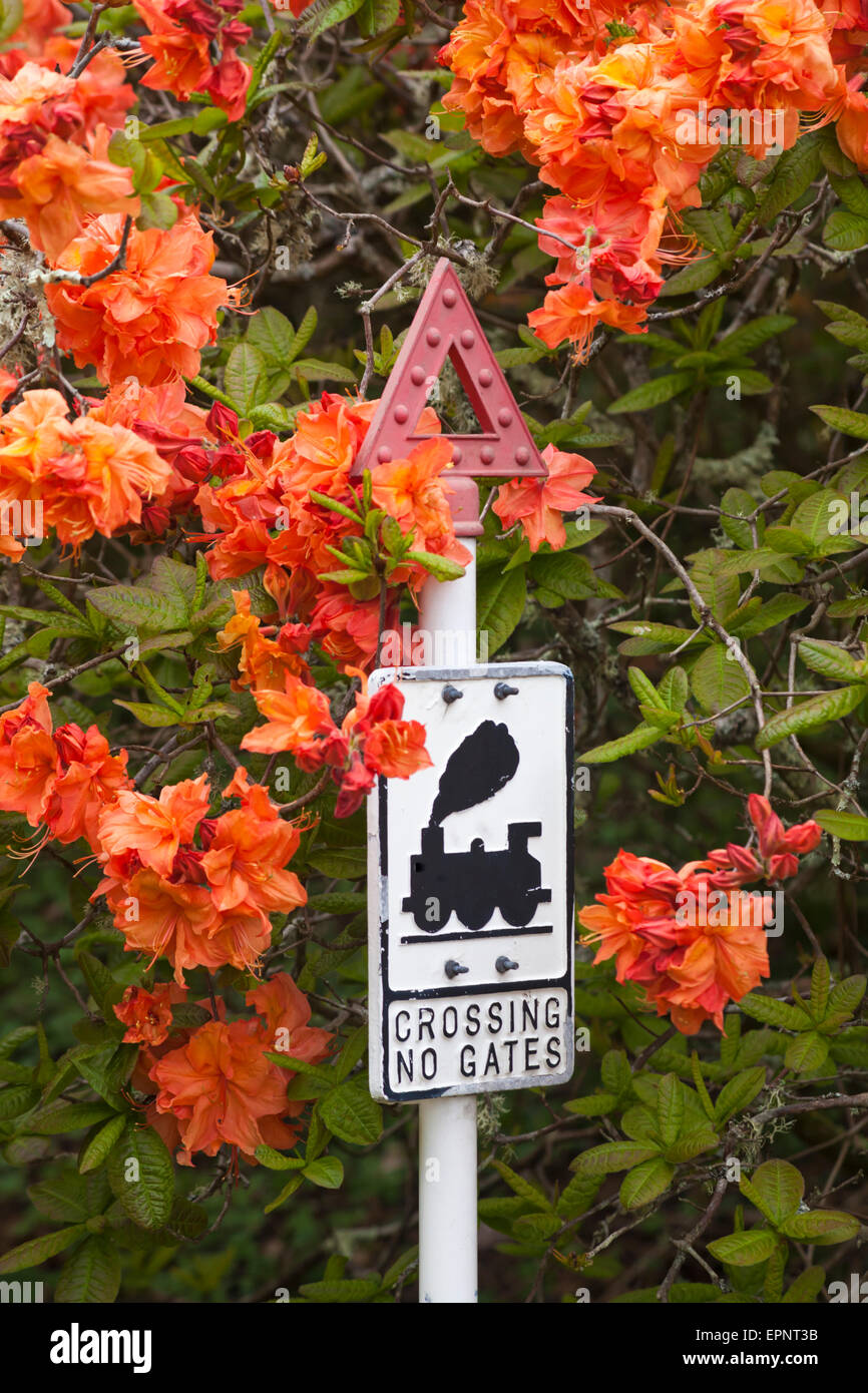 Crossing no gates sign surrounded by colorful orange azalea in ...