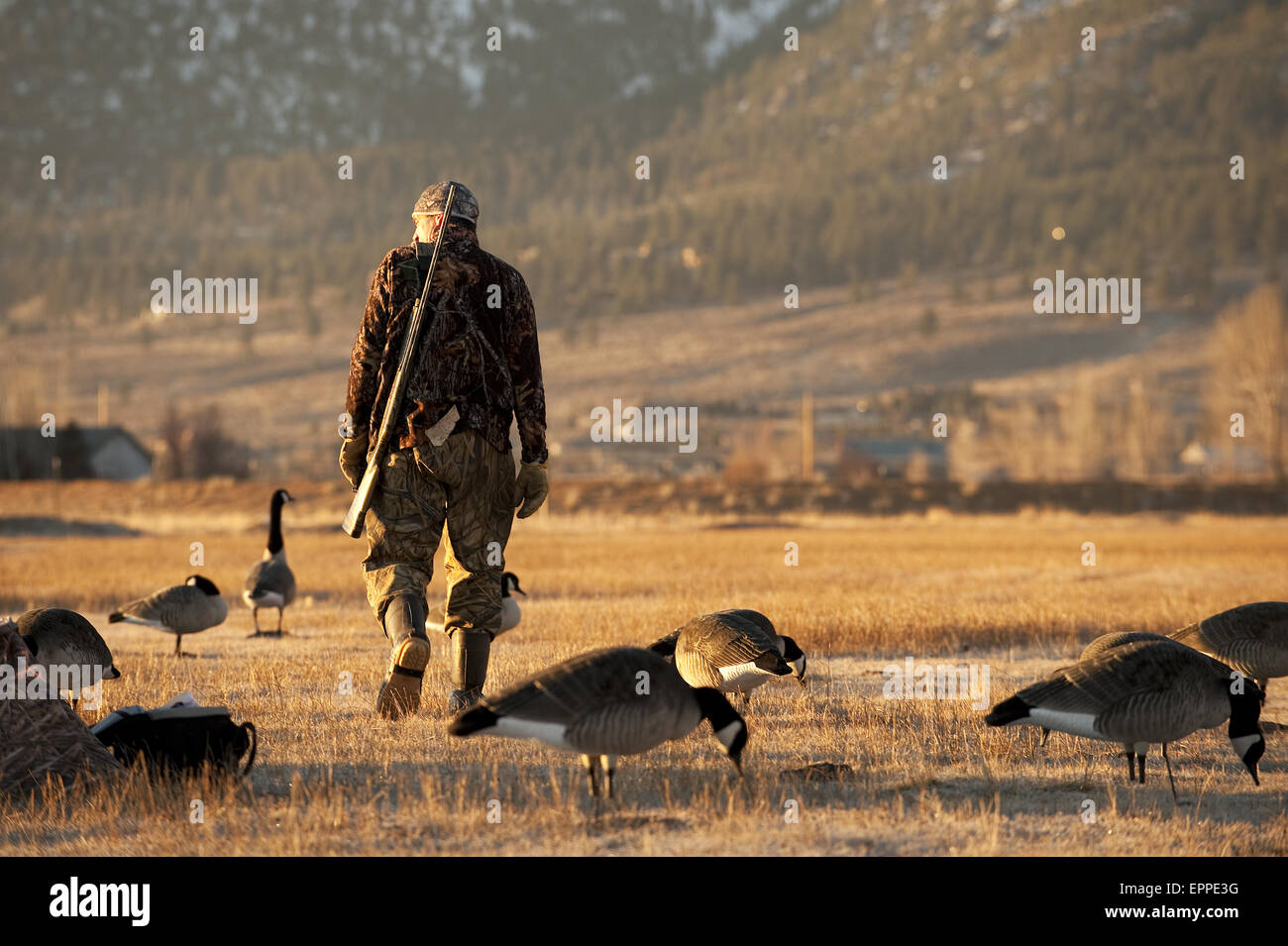 A hunter surveys his decoys while hunting geese in Carson City, NV. - Stock Image