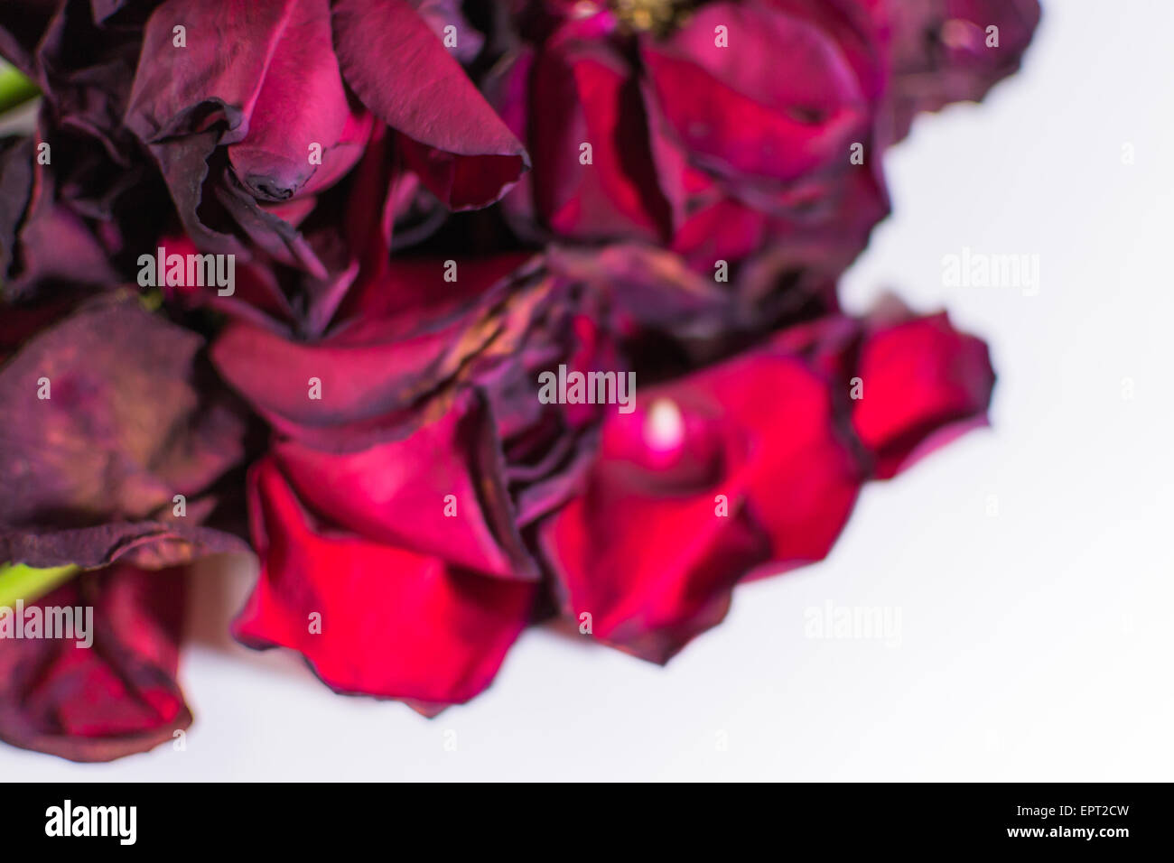 Old and dying rose petals with defocus areas on white background - Stock Image