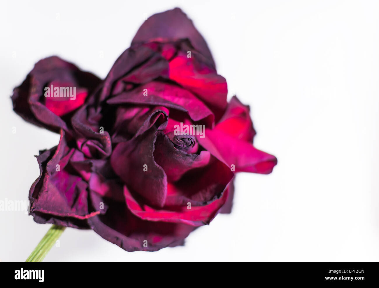 Solitary rose in a state of decay on a white background - Stock Image