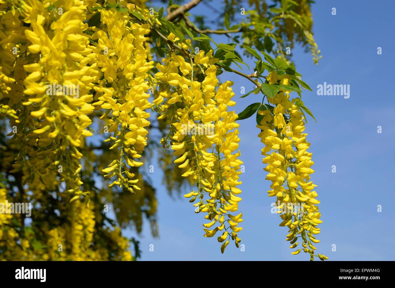 Bright Yellow Flowers Of A Laburnum Tree Often Called Golden Stock