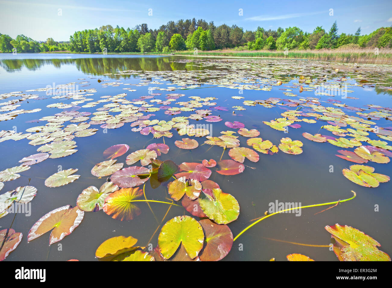 Water lilies, wide angle summer lake view. - Stock Image