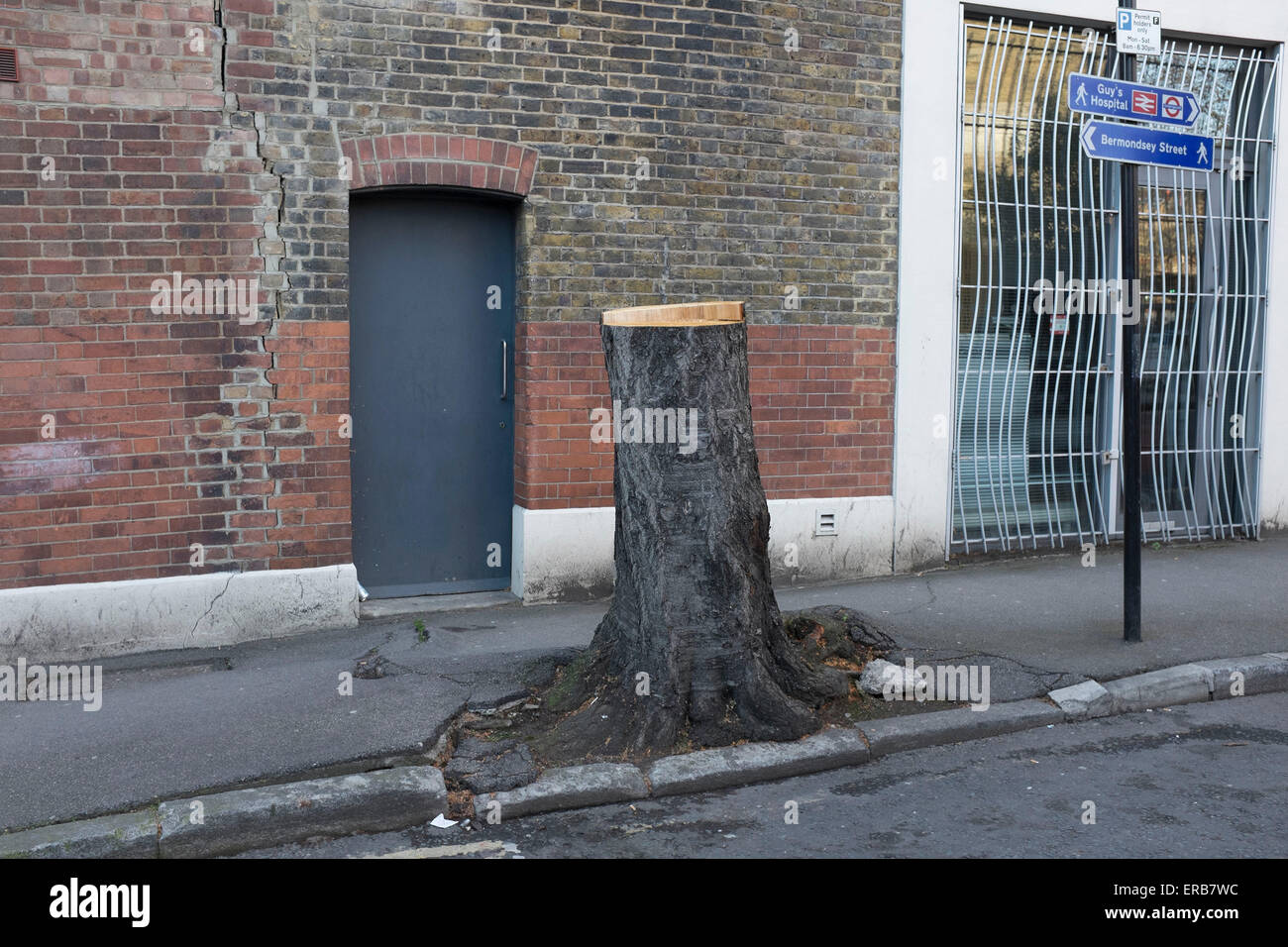 Tree stump growing out of the pavement in Borough, London, UK. The tree has been cut down and is set to be removed Stock Photo